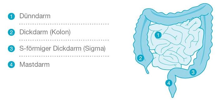 Funktionsweise und Anatomie des Darms